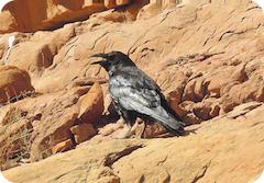 Rio San Juan Raven4