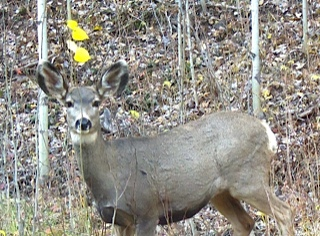 Resilient deer