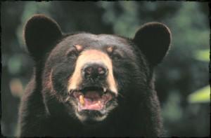 Resilient Black Bears