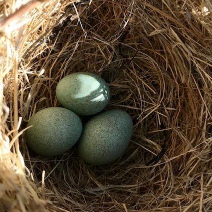 Sage Bill Thrasher Eggs in nest
