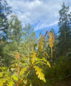 Spring Green Gamble's Oak Leaves